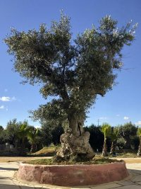 Remarkable olive tree