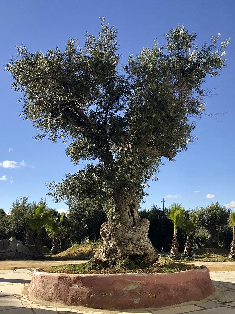 Remarkable olive tree